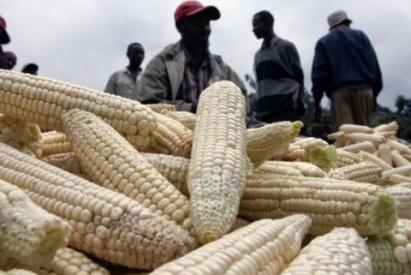 Sécurité alimentaire : Le maïs, une autre réponse qui s'organise en Côte d'Ivoire